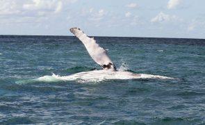 Morte de baleias jubarte bate recorde no litoral do Brasil este ano