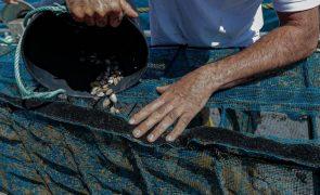 GNR apreende mais de uma tonelada de amêijoa-japonesa em Matosinhos
