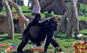 Parque Nacional do Virunga anuncia nascimento de 13.º gorila da montanha deste ano