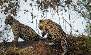 Espécies ameaçadas perdem grande parte do habitat devido a devastação da Amazónia