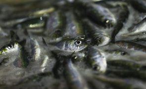 GNR apreendeu mais de uma tonelada de sardinha em Matosinhos