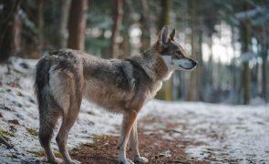 Falso terapeuta viola jovem e abandona-a aos lobos no Gerês