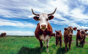 Cornada de vaca deixa mulher gravemente ferida