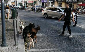 Rebanho de cabras filmado em plena Avenida Almirante Reis