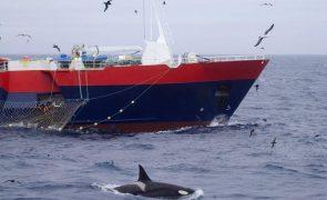 Espanha vai estudar o comportamento agressivo das orcas contra embarcações