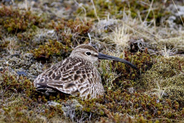Descoberto voo direto do maçarico: cinco dias da Islândia à Guiné sem comer, nem beber