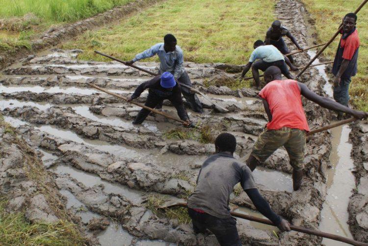 Militares da Guiné-Bissau com dificuldades para tirarem do campo arroz produzido