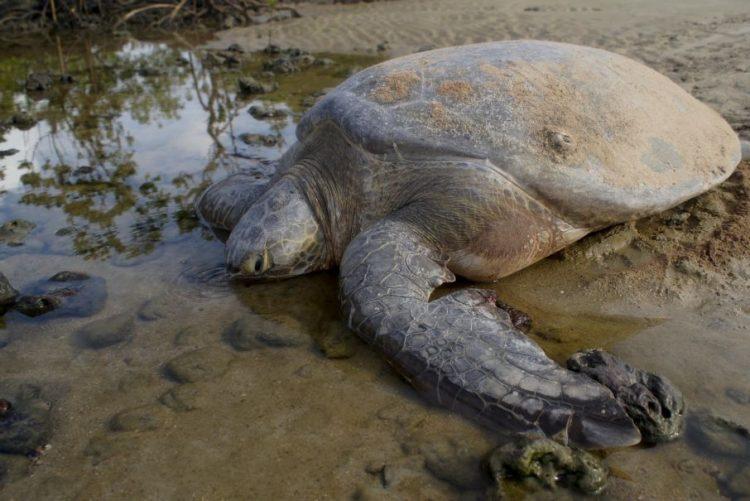 Tartarugas marinhas usam nascer do Sol para se orientarem e regressarem a 'casa'