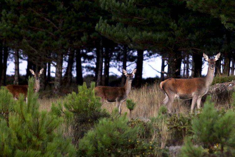 Universidade de Aveiro considera que reintrodução de veados na Serra da Lousã travou extinção da espécie